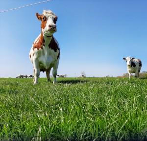 Column: Hoera, de koeien gaan naar buiten
